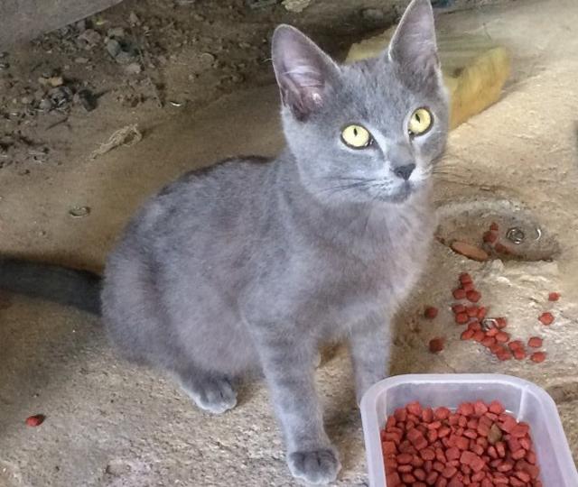 Procura-se o gatinho Blue de Criciúma