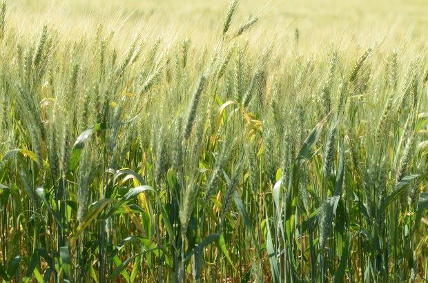 Santa Catarina reforça a importância do cultivo de cereais de inverno para ração animal