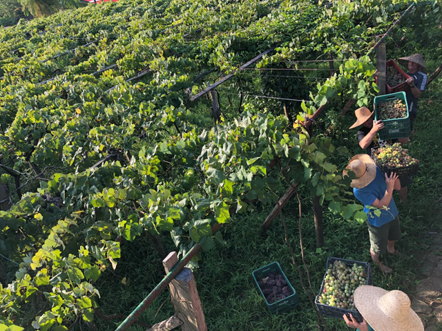 Colheita de bons frutos abre mês da 10ª Vindima Goethe