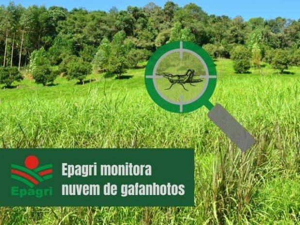 Nuvem de gafanhotos: Pesquisadores da Epagri intensificam estudos sobre a praga
