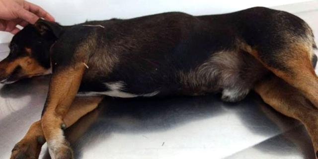Ajude no tratamento de cão resgatado no bairro Tereza Cristina