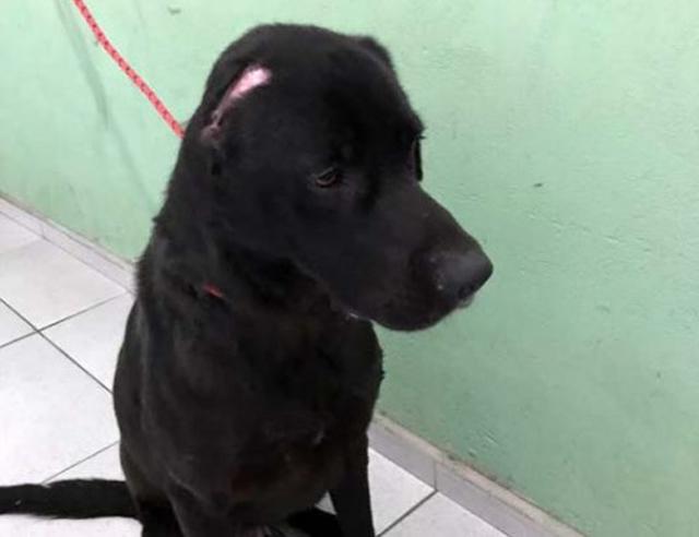 Após resgate e tratamento labrador aguarda adoção