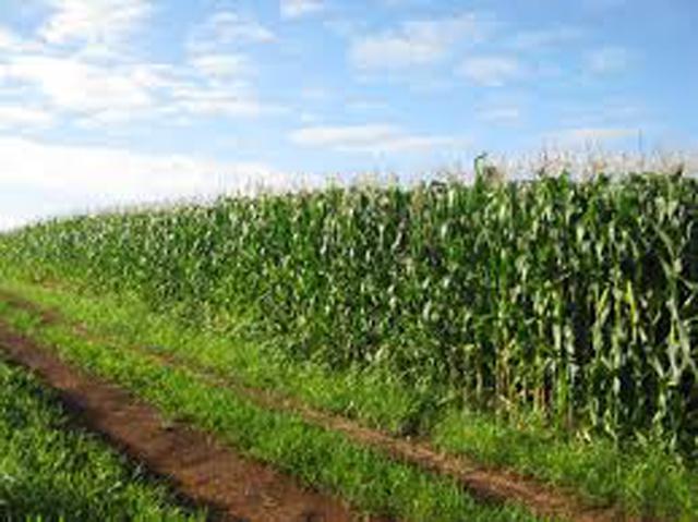 Governo investirá R$ 18,6 milhões para aumentar produção de milho