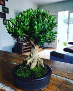 Exposição de bonsai acontece em Criciúma