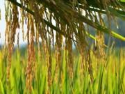 Arroz catarinense tem preço e exportações em alta avalia Epagri/Cepa