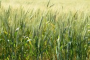 SC investirá R$ 5 milhões em projeto de incentivo ao plantio de cereais de inverno