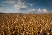 Produção de soja cresce 43,5% em oito anos no estado catarinense