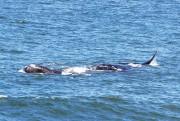 Baleias francas aparecem em Balneário Rincão