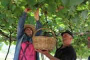 É tempo de colheita nos Vales da Uva Goethe