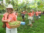 Vindima Goethe 2019: Sul de SC se prepara para a colheita