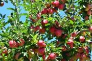 Aberto o prazo para análise foliar da macieira