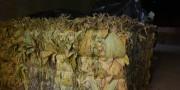 Produtores de Içara enfrentam impasse na comercialização da safra de fumo