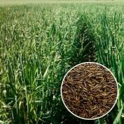 Programa Municipal de Urussanga subsidia aveia aos agricultores
