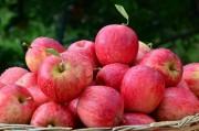 Santa Catarina dá início à colheita da maçã no estado