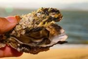 Secretaria da Agricultura libera retirada e comercialização de ostras no litoral de SC