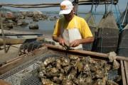 Secretaria da Agricultura anuncia interdição de áreas de cultivo de moluscos em Florianópolis
