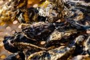 Secretaria da Agricultura libera retirada de moluscos em Governador Celso Ramos
