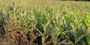 Período prolongado de chuva não atinge agricultura de Içara