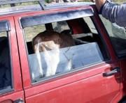 Trio é detido por suspeita  de furtar terneiro em Treviso