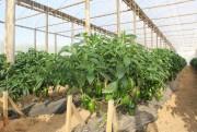 Inovação tecnológica incentiva à produção de pimentão colorido em Içara