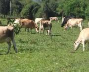 Dia de campo evidencia a produção de bovinos a base de pasto
