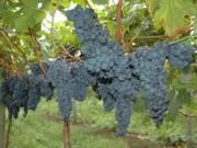 Safra de uva está com frutos de boa qualidade e colheita antecipada em SC