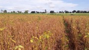Santa Catarina reduz em 10% a expectativa de safra de milho devido à estiagem