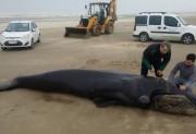 Museu de Zoologia da Unesc trabalha em encalhe de baleia