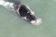 Monitoramento das baleias francas em Imbituba