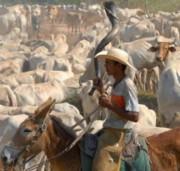Pecuária bovina e piscicultura crescem em 2016 mostra IBGE
