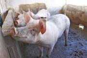 SC reduz ICMS para produtores de suínos, erva-mate e alho