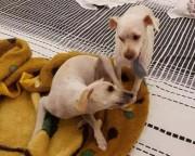 Procura-se cachorrinha desaparecida no bairro Jardim Elizabete