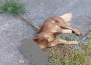 Cães são envenenados no bairro Raichaski