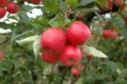 Epagri seleciona interessados em produzir mudas de novos cultivares de maçã