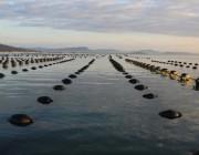 Comercialização de ostras e mexilhões continua interditada durante esta semana