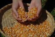 Safra catarinense de milho terá redução de 20,4%