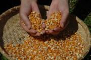 SC encerra colheita de milho com incremento de 17%