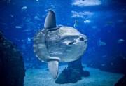 Chegou na Unesc o exemplar do maior e mais pesado peixe