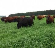 Pesquisa da Epagri traz alta produtividade para a pecuária em pouco tempo