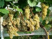 Uvas viníferas resistentes a doenças promete revolucionar mercado