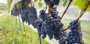 Pesquisadores testam novas espécies para reduzir custos na produção de uvas e vinhos
