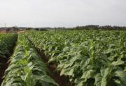 Censo Agropecuário atinge 70% da coleta em Içara