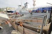 Porto de Imbituba realiza exportação de bois vivos