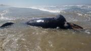 Museu de Zoologia da Unesc atua no resgate de filhote de baleia Franca em Balneário Rincão