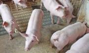 Estado de Santa Catarina bate recorde histórico nas exportações de carne suína
