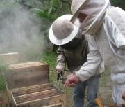 FAO reconhece projeto de seleção e produção de abelhas rainhas