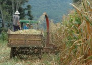 Agricultores catarinenses investem na produção de silagem