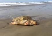 Tartaruga é encontrada morta na orla do Balneário Rincão