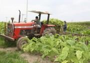 Fumicultores brasileiros poderão perder financiamento