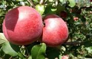 Mudanças no transporte de maçãs garante qualidade